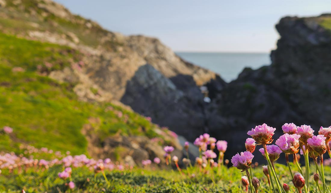 Pink flowers on hills at Porth Dafarch